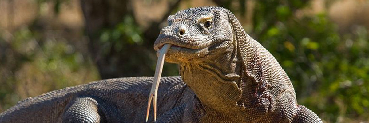 Komodo-Island-Komodo-Dragon-Indonesia