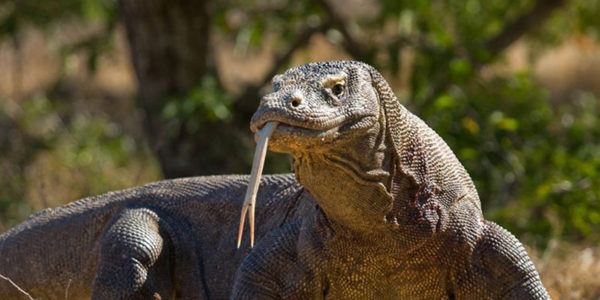 Komodo-Island-Komodo-Dragon-Indonesia
